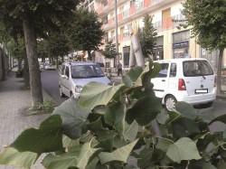 Arbusto divelto in Viale Regina Margherita