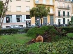 Uno degli alberi abbattuti dalla tromba d'aria, in piazza Garibaldi