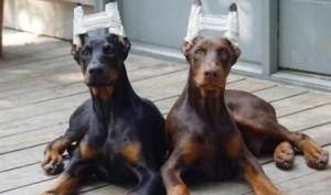 taglio-coda-orecchie-cane-300x177