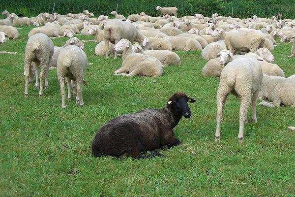 Racconti / La pecora bianca