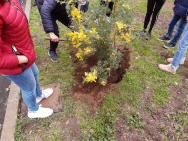 studenti piantano mimosa
