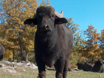 Bufala Modicana